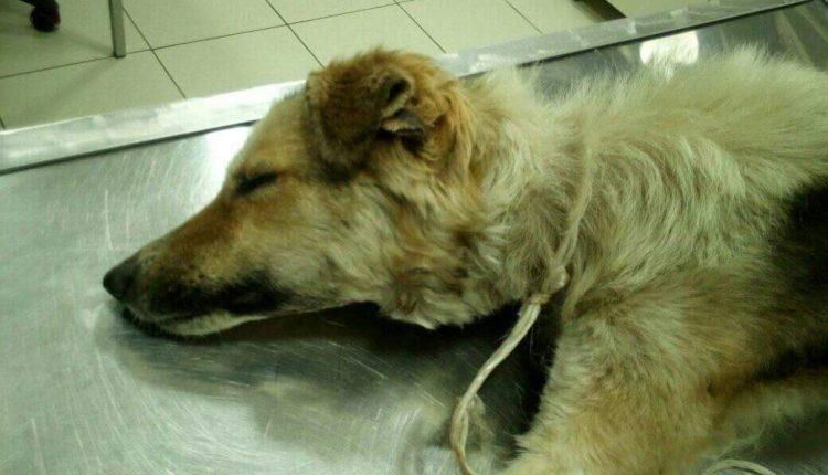 Bor na nogama: Traži se osoba koja je vezala psa za drvo i ostavila ga da umre u mukama (FOTO)