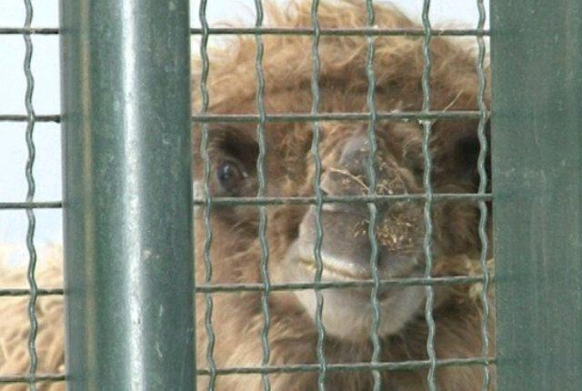 Zoološki vrt dobio kamile