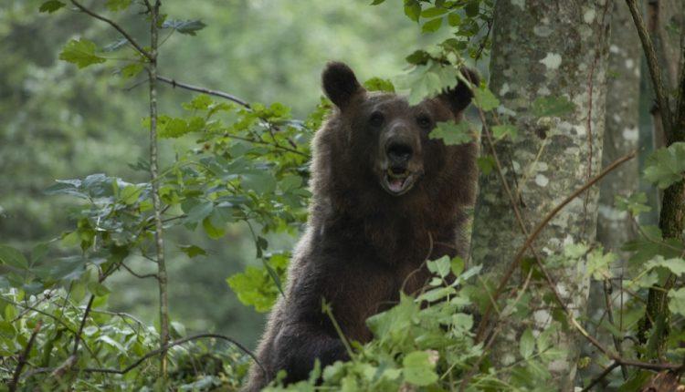 Strani turisti na Tari zbog FOTO-TURA s mrkim medvedima