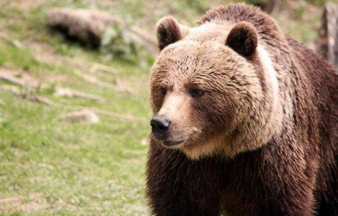 Lovac tvrdi da mu je medved ukrao dve puške